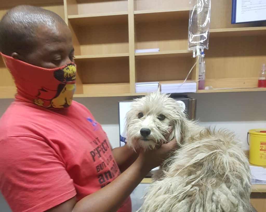 A bad hair day for Rasta the poodle cross