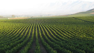 South Africa's great fresh unwooded Chardonnay