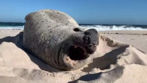 Rare elephant seal seen at Cape Point