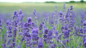 Lavender oil - natural, diverse purpose and smells good