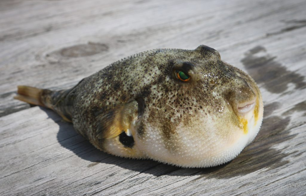 Warning: masses of toxic pufferfish on Cape beaches