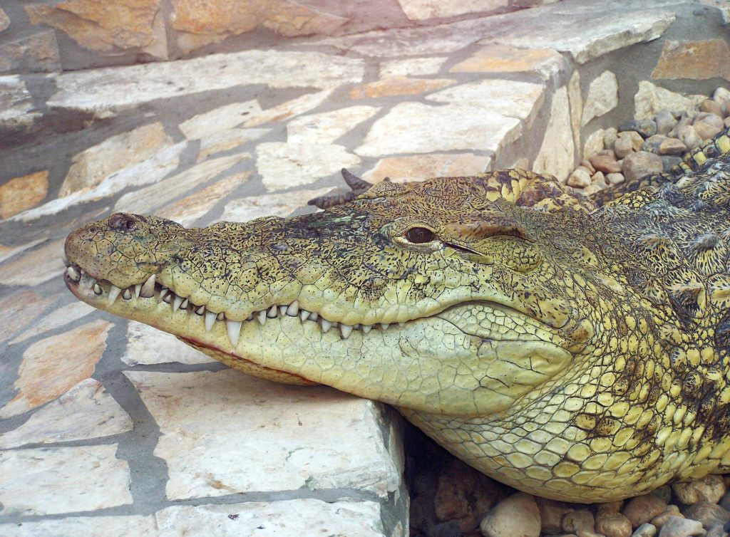 Crocs on the loose: Update on the escaped crocodiles