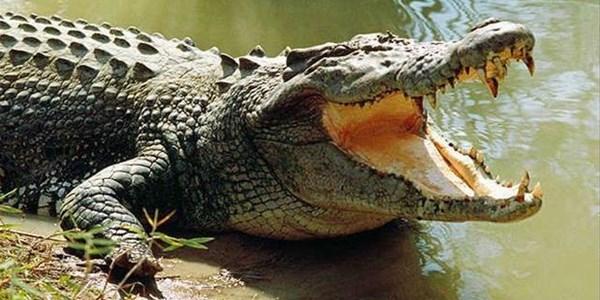 Crocodiles –Bonnievale