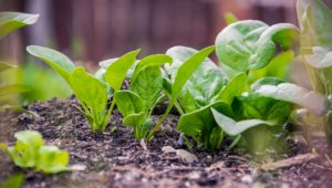 The best fruits and veggies to grow in the Western Cape