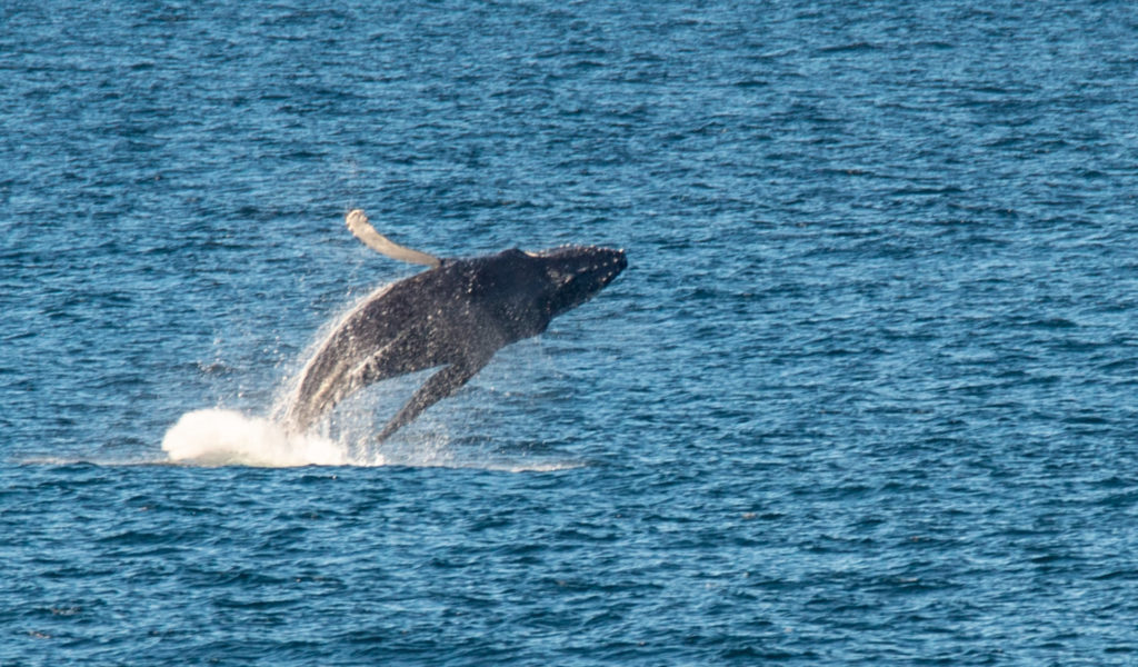 Humpback seen having a whale of a time in Cape's waters