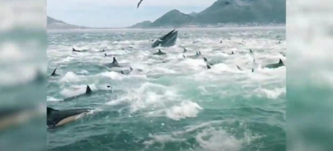 WATCH: dolphins and whale feeding at Fish Hoek