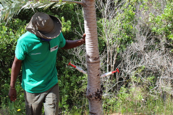 Kirstenbosch strives to save rare, endangered silver tree