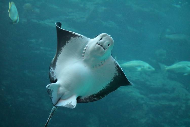 The Two Oceans Aquarium's eagle rays are pregnant!