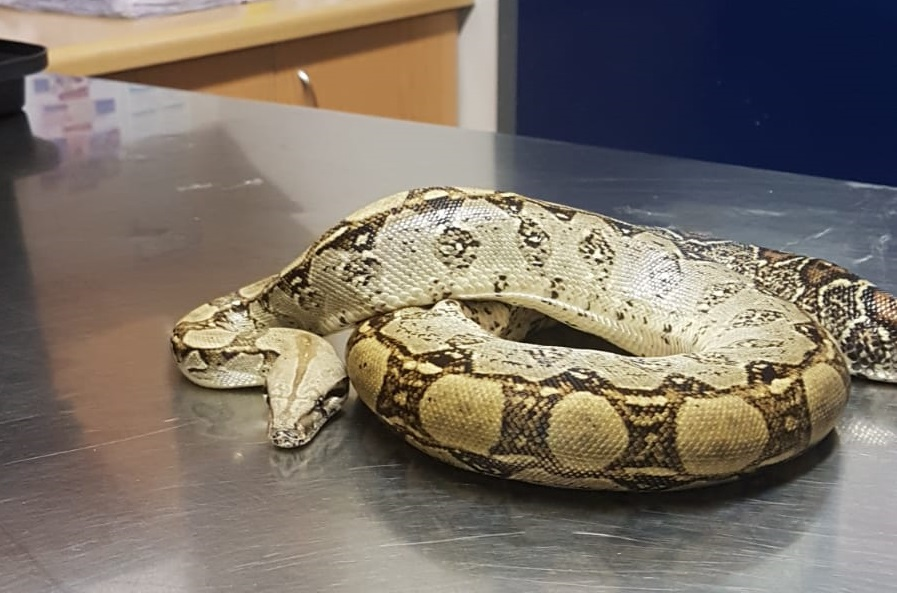 Remembering Noodle, a red tail boa constrictor