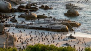 Don't be a jackass - visit the Simon's Town penguins the right way