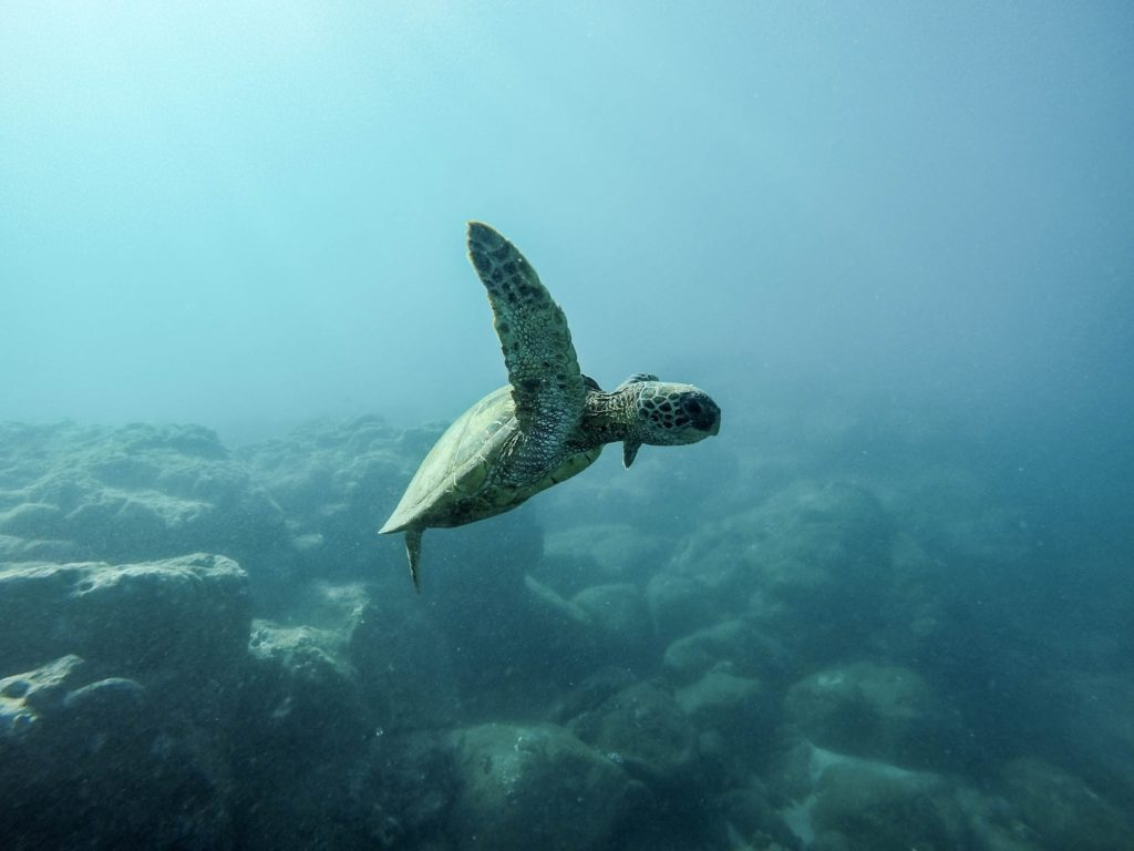 sea turtle, earth day