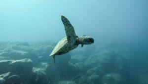 sea turtle, earth day