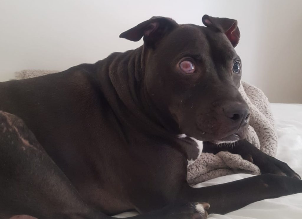 Dog suffers degenerative eye condition causing him to lose his eye sight