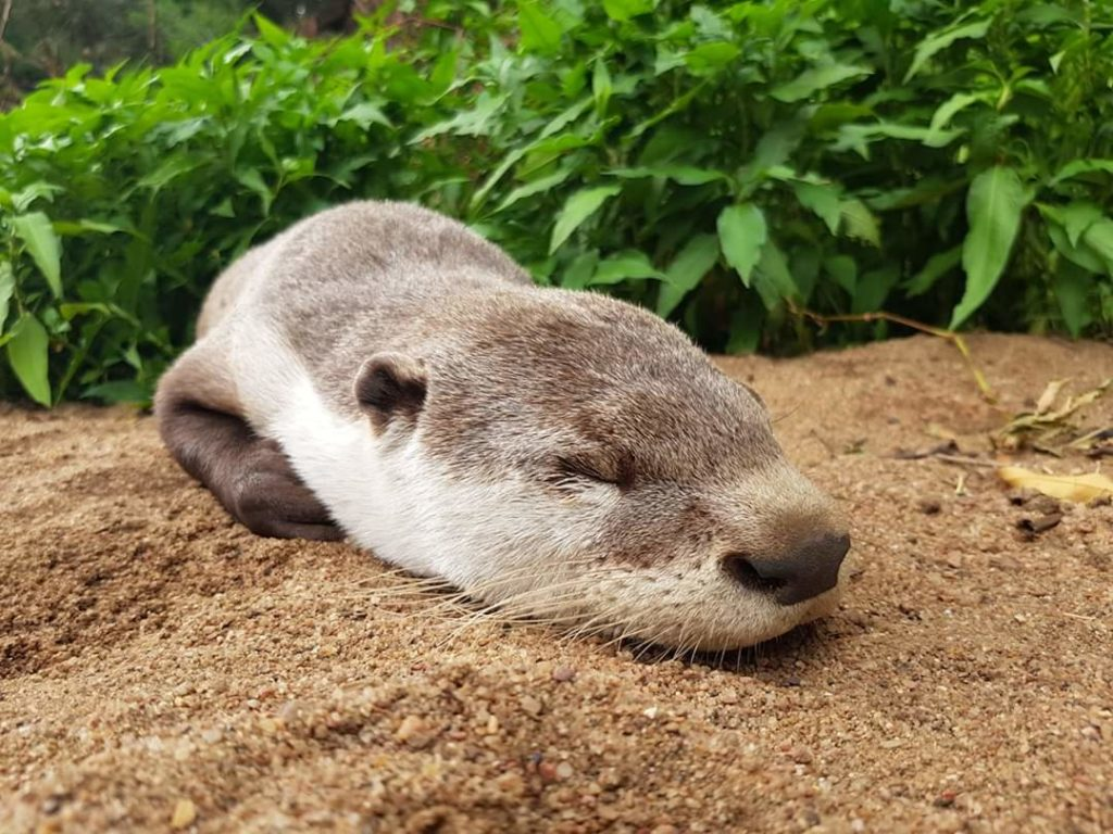 The Clawless Cape Otter that overcame his fear of water