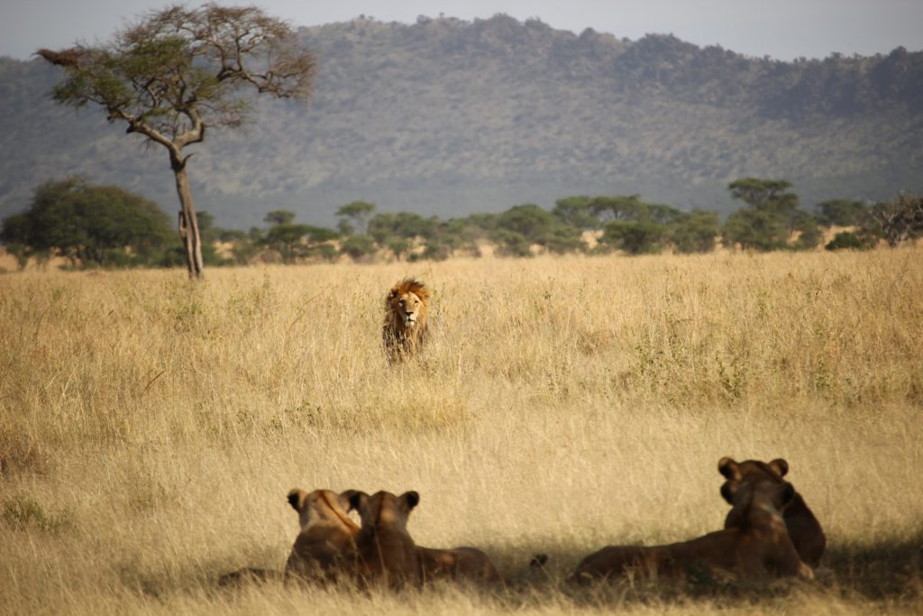 5 lions get a new sanctuary in the Western Cape