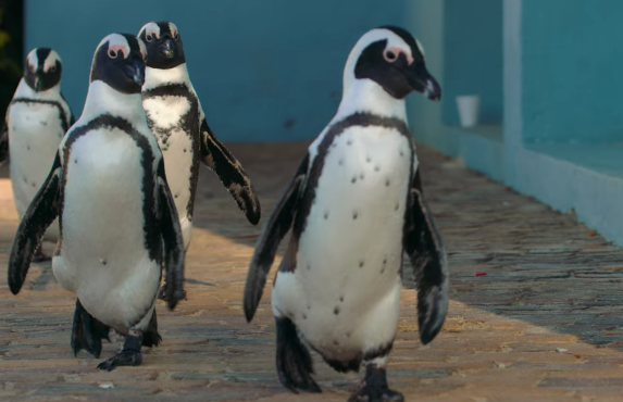 The Order of the Penguin: Netflix series 'Penguin Town' stars local penguins