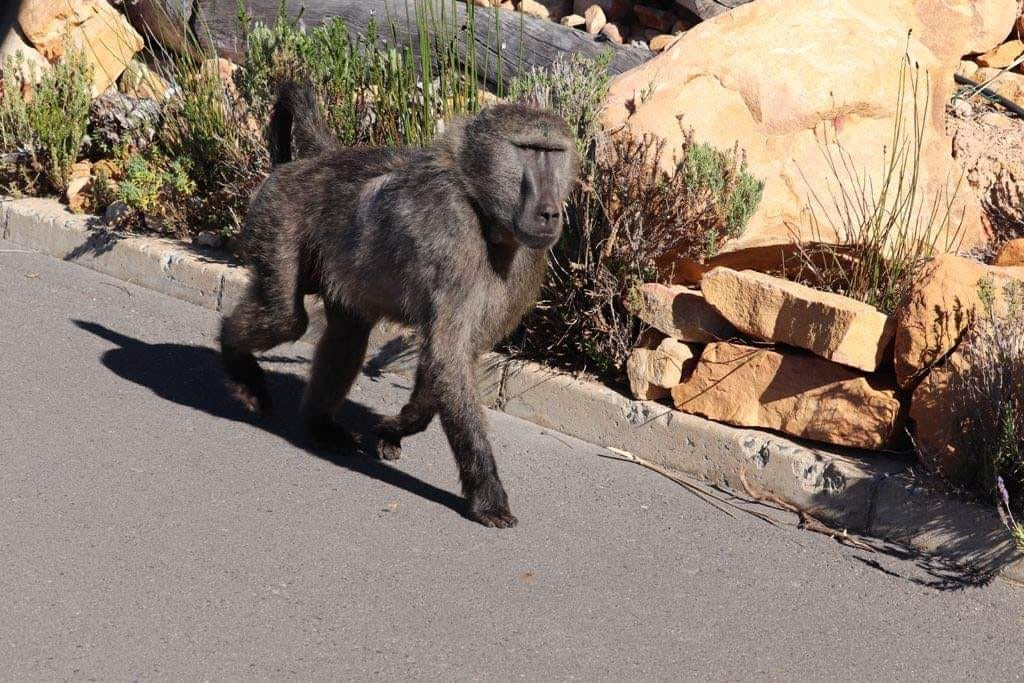 Cape Nature scrutinized for putting down alpha baboon