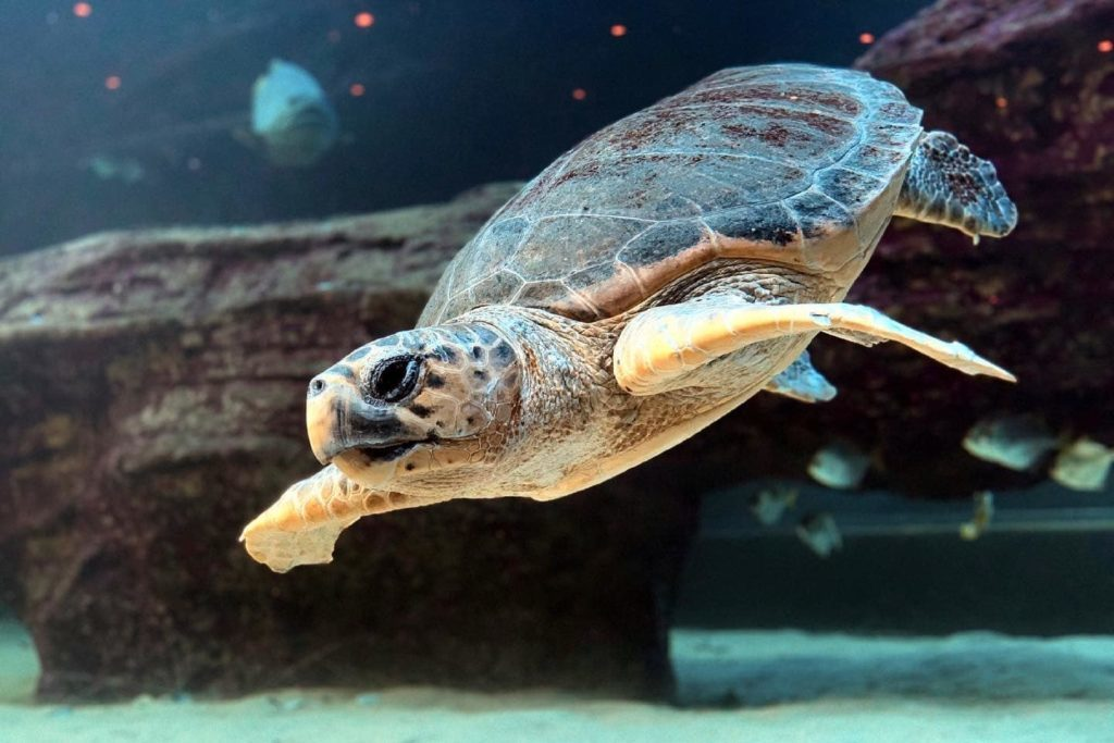 Annie the turtle, rescued from ghost fishing, finally free