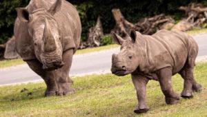 SA rhino
