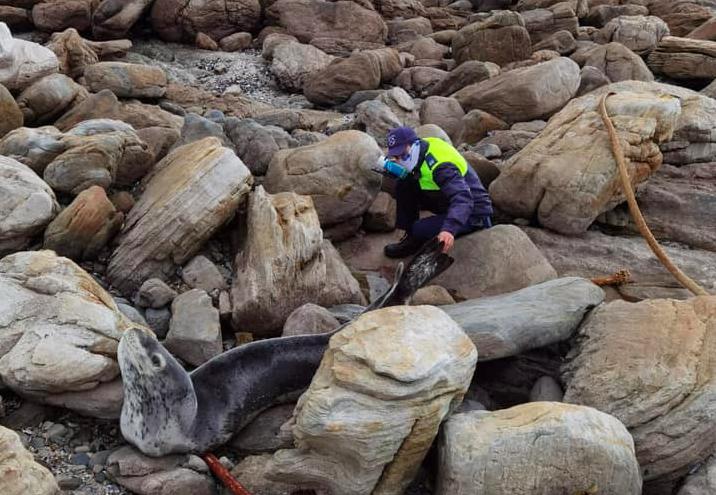 Leopard seal spotted in Kommetjie - public urged to stay away