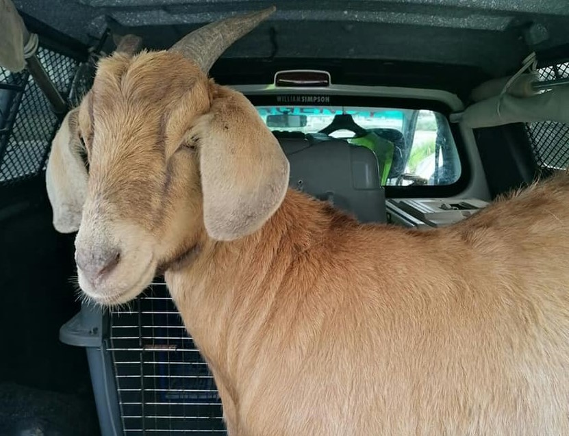 Stray goat roams around at MyCiTi bus shelter in Cape Town
