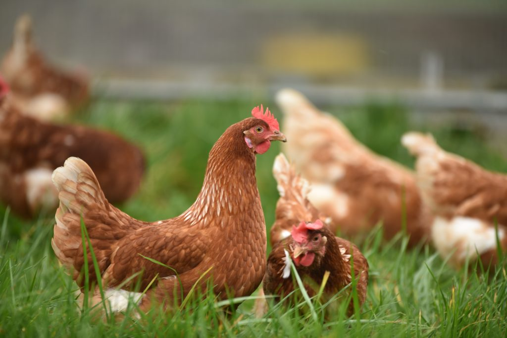 Poultry abattoirs temporarily halted in KZN
