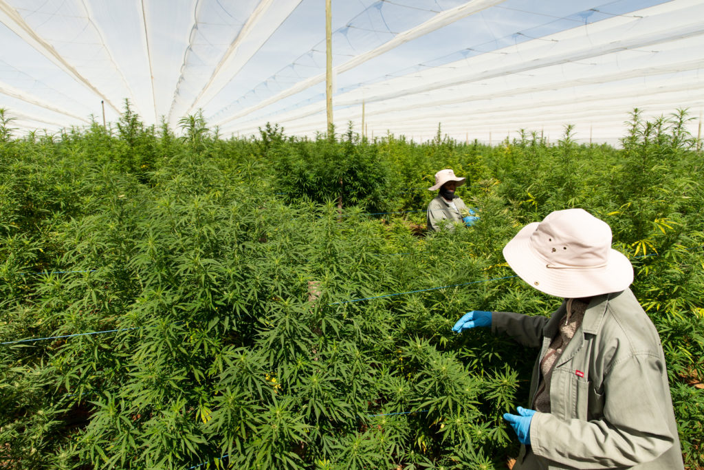 One of Africa's largest outdoor cannabis grow facilities secures major sale to Europe