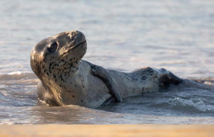 Look: rare sighting of a second leopard seal at Kommetjie