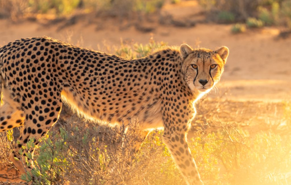 10 endangered animals in South Africa and how you can help