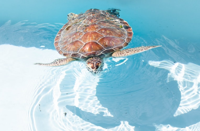 WATCH: Beautiful loggerhead turtle on the road to recovery in Cape Town