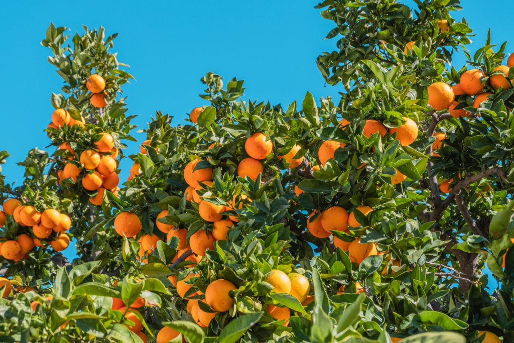 The price of oranges drops due to Durban port jam