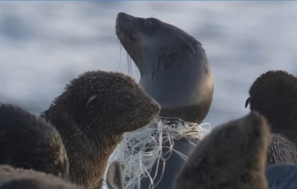 WATCH: Cape Fur seal entanglement, the horrifying reality