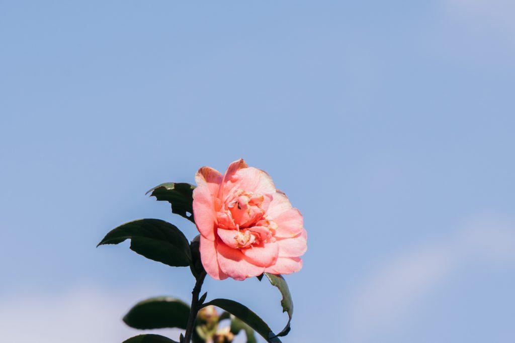 Africa's only International Camellia Garden in full bloom