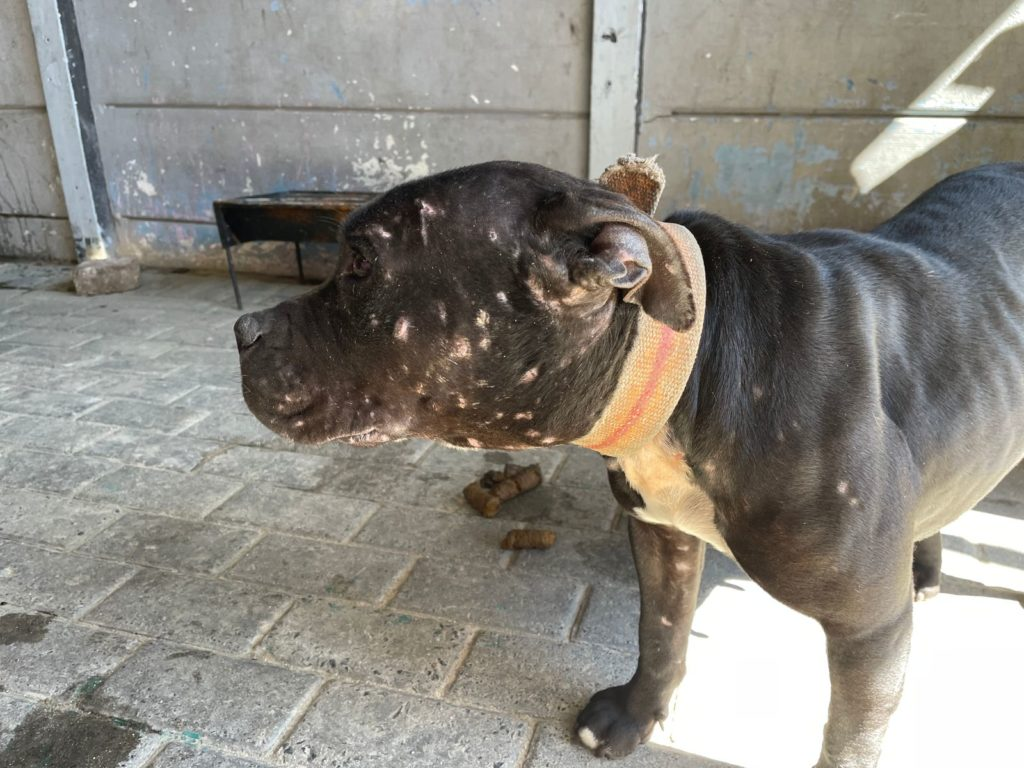 Dogs bred for fighting rescued from Mitchells Plain hell
