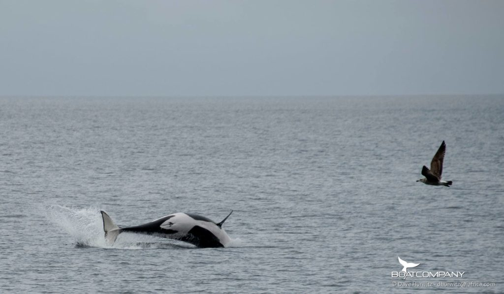 WATCH: Orca whale sightings in False Bay, photography and footage