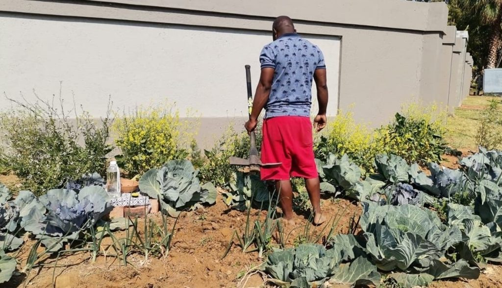 'Cabbage Bandit' faces jail time for planting crops in his front yard
