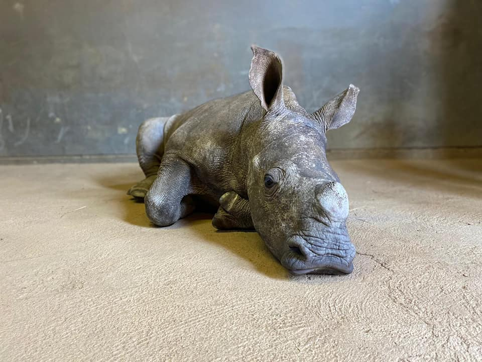 The Rhino Orphanage takes in calf after being abandoned by her mother