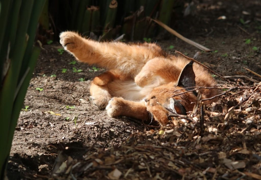 Look! Caracal kittens spotted in Kirstenbosch