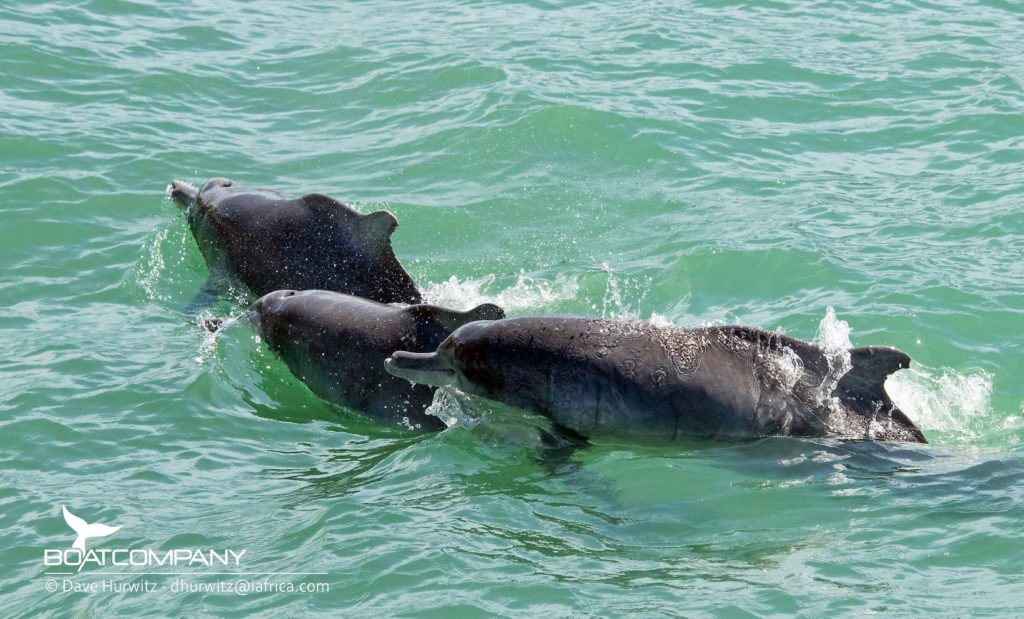 Look! Extremely rare Indian Ocean Humpback Dolphins spotted at False Bay