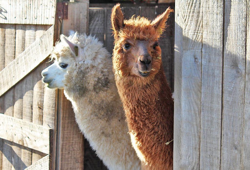 9 unique, super fun things to do in Paarl - alpacas guaranteed