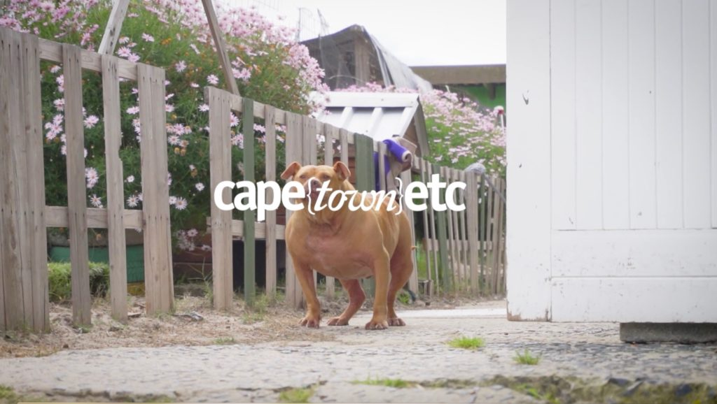 WATCH: Cape {town} Etc debunks pitbull myths with local experts