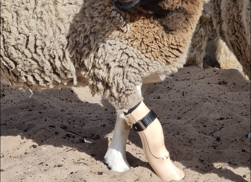 WATCH: Dolly the Lamb gets a second chance to walk with a prosthetic leg