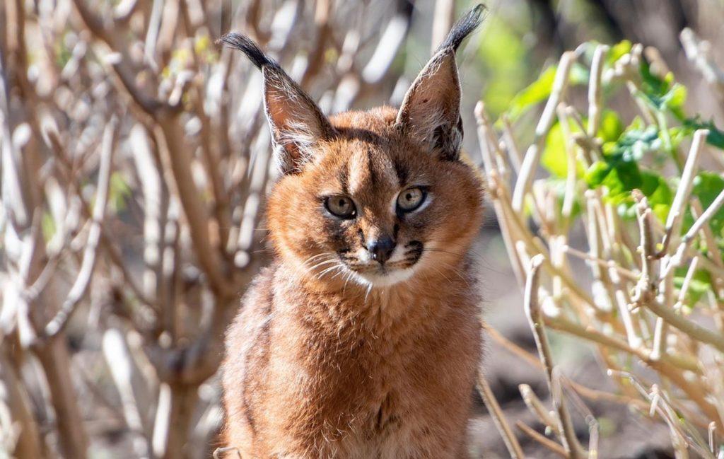 Keep calm Capetonians - we've got more Caracal kitten snaps