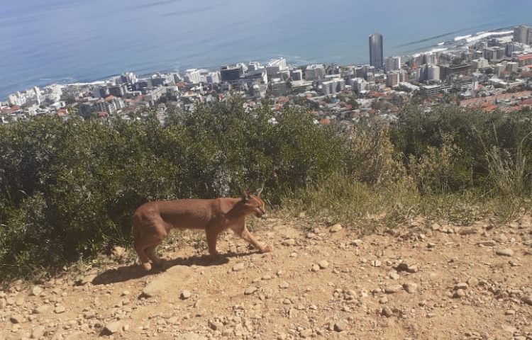 Look! An Urban Caracal spotted on Lion's Head