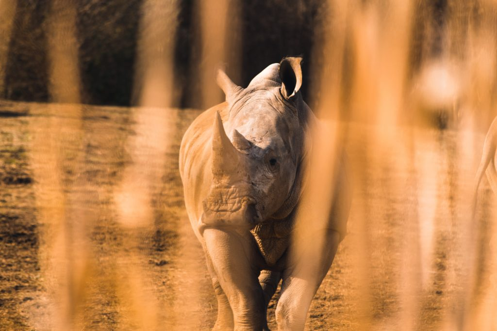 Kruger poachers caught red handed, shooting at rhinos and horn possession
