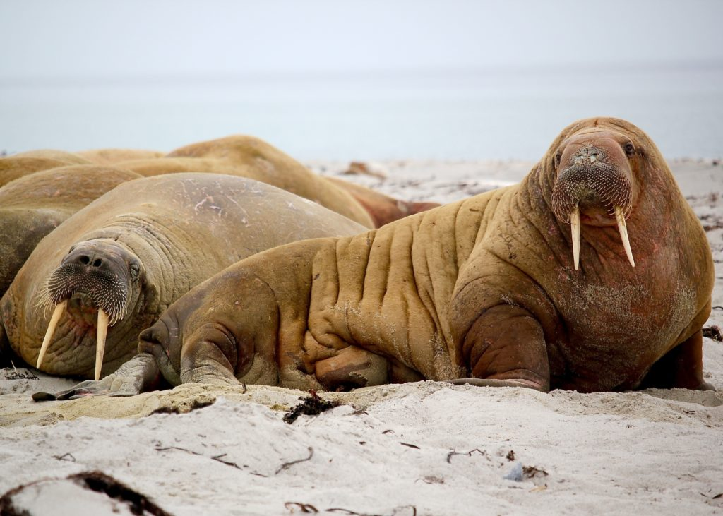 walrus leaves internet in stiches after it attempts to commandeer a boat