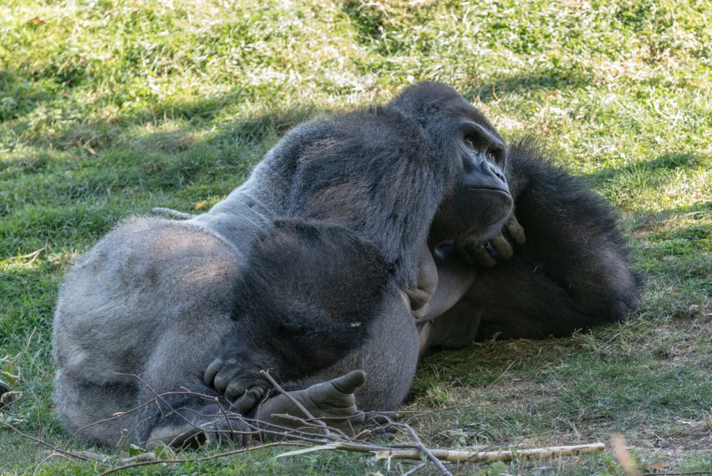 13 gorillas test positive for COVID-19 at Zoo Atlanta in the US