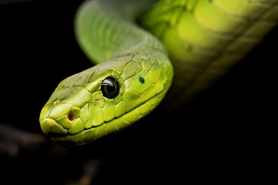 Snake awareness first aid for snake bites and venomous snake handling