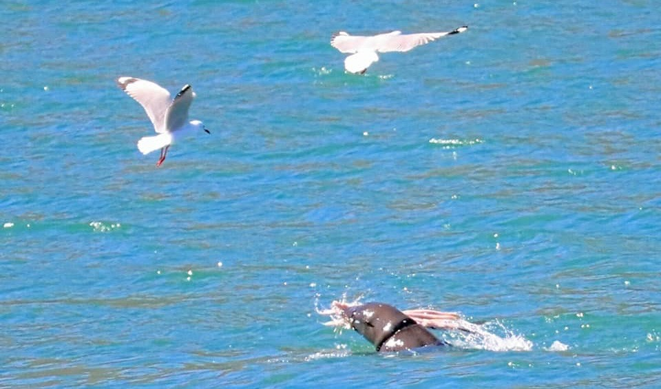 Look! Cape Fur seal nabs the catch of the day at Hout Bay