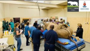 First live rhino CT scan performed in South Africa